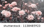 Stock photo pink roses flowers 1138485923