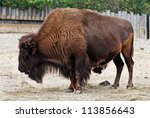 American Bison  Buffalo  In Zoo
