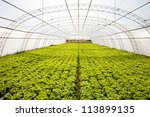 industrial lettuces cultivation in a hothouse - stock photo