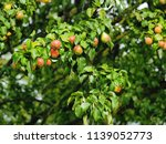 fresh pears hanging on the... | Shutterstock . vector #1139052773