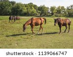 horses grazing on the meadow at ... | Shutterstock . vector #1139066747
