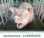 small piglet waiting feed. pig... | Shutterstock . vector #1139092343