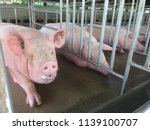 small piglet waiting feed. pig... | Shutterstock . vector #1139100707