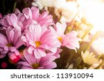 Pink and white flowers of chrysanthemums in the sunset light - stock photo