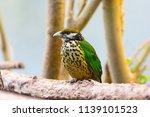 white eared catbird  ailuroedus ... | Shutterstock . vector #1139101523