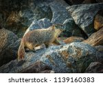 ground hog on a rock in the... | Shutterstock . vector #1139160383