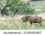 rhinos are endangered due to... | Shutterstock . vector #1139181407