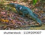 monitor lizard  varanus... | Shutterstock . vector #1139209307