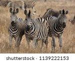 trio of zebras | Shutterstock . vector #1139222153
