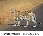 female leopard licking lips | Shutterstock . vector #1139222177