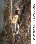 small vervet monkey sat in a... | Shutterstock . vector #1139222207