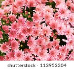 Pink chrysanthemum flowers vibrant background - stock photo