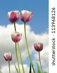 Tulip flowers on bacground of sky and clouds - stock photo