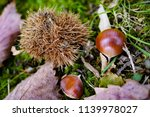 shinny brown sweet chestnut... | Shutterstock . vector #1139978027