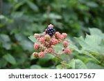 organic blackberry backgrund... | Shutterstock . vector #1140017567