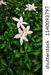 gardenia jasminoides  garden ... | Shutterstock . vector #1140093797