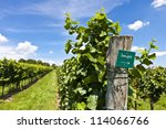 Vineyard of Zweigelt grape - stock photo