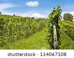 Vineyard of cabernet sauvignon grape - stock photo
