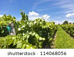 Vineyard of Pinot Blanc grape - stock photo