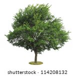 green elm tree, isolated over white - stock photo