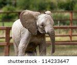 Infant Elephant Calf In A Loca...