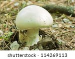 Small photo of young exemplar of prataiolo fungus, agaricus campestris, agaricaceae