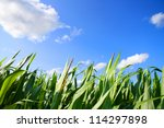 A Corn field under a blue sky. - stock photo