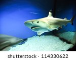 Carcharhinus melanopterus - one of the species of Requiem sharks, commonly known as blacktip reef shark - stock photo