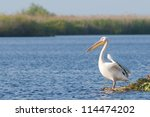 White Pelicans in Danube Delta - stock photo
