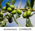 branch of green olives on the tree - stock photo
