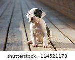 Stock photo american staffordshire terrier puppy sitting on wooden boards 114521173