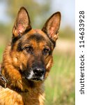 Closeup portrait of German Shepherd Dog - stock photo