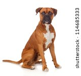 Stock photo beautiful boxer dog isolated on white background 114685333