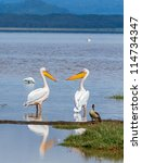 Two White Pelican In Lake...