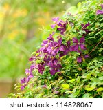 Beautiful Clematis Bush With...