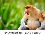 Proboscis monkey endemic of Borneo island in Malaysia - stock photo