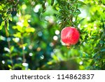 Branch with ripe pomegranate - stock photo