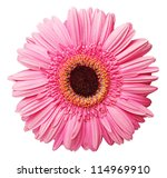 Gerber flower closeup isolated on white - stock photo