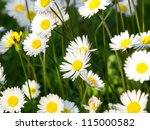 daisy flowers on the field - stock photo