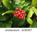 berries on a gaultheria bush | Shutterstock . vector #1150357
