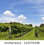 Vineyard at sunny day - stock photo