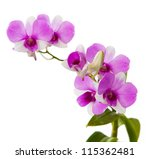 purple orchid with fresh water dew on white background - stock photo