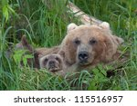 Bear With Bear Cubs In Russia...