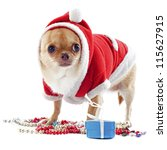 portrait of a dressed chihuahua with jewelry in Christmas in front of white background - stock photo