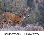 Whitetail Buck Deer Stag ...