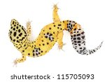 leopard gecko on white... | Shutterstock . vector #115705093