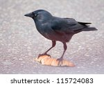 Jackdaw   Coloeus Monedula
