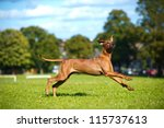 beautiful dog rhodesian...   Shutterstock . vector #115737613