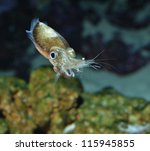 Spinesless cuttlefish, sepiella inermis - stock photo