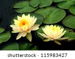 Yellow Lotus Blooming In The...